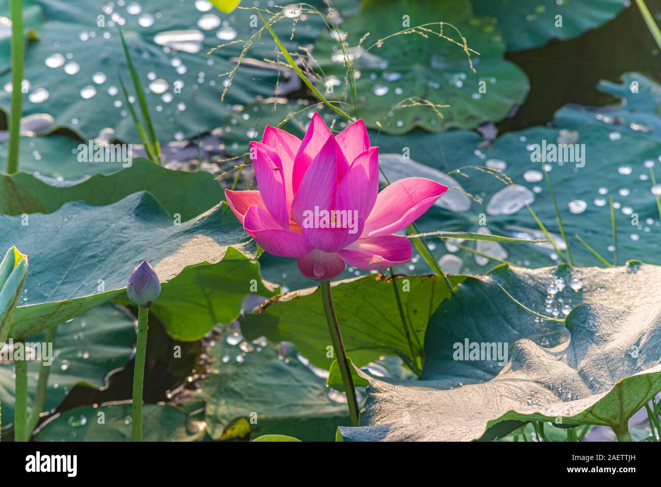 Beautiful Lotus Flower Blooming On The Pond With Green Leaves Stock Photo Alamy