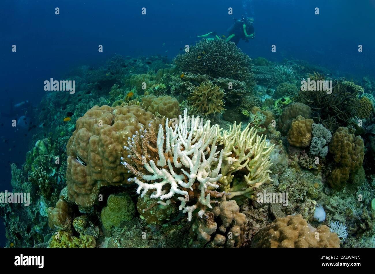 Korallenbleiche, ausgebleichte Steinkorallen (Acroporidae), Auswirkungen der globalen Erwärmung der Weltmeere, Moalboal, Cebu, Philippinen | Coral ble Stock Photo