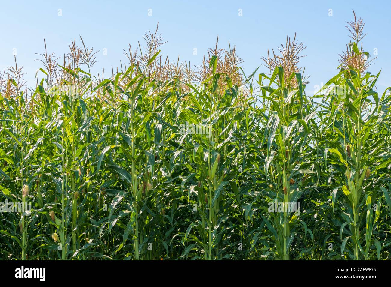 Corn Plant High Resolution Stock Photography and Images - Alamy