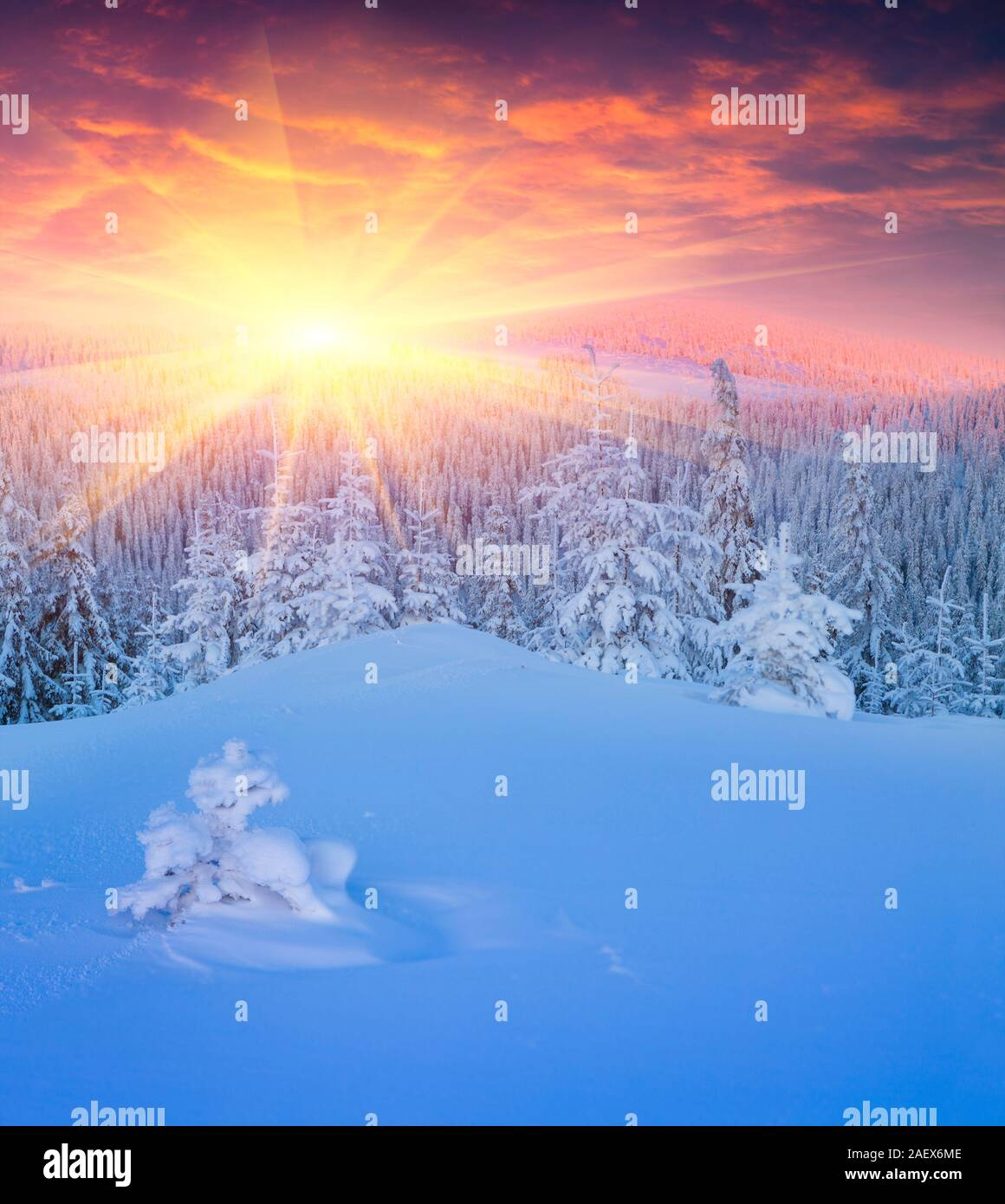Colorful winter scene in Carpathian mountains. First sunlight glowing fresh snow and fir trees in the frosty sunrise. Stock Photo