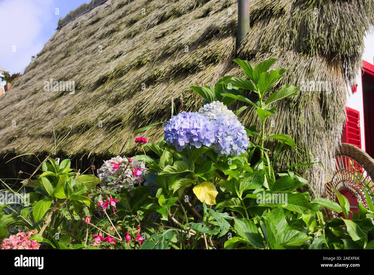 Colored hydrangea flowers in the garden of a rural house with an old thantched roof (Madeira, Portugal, Europe) Stock Photo