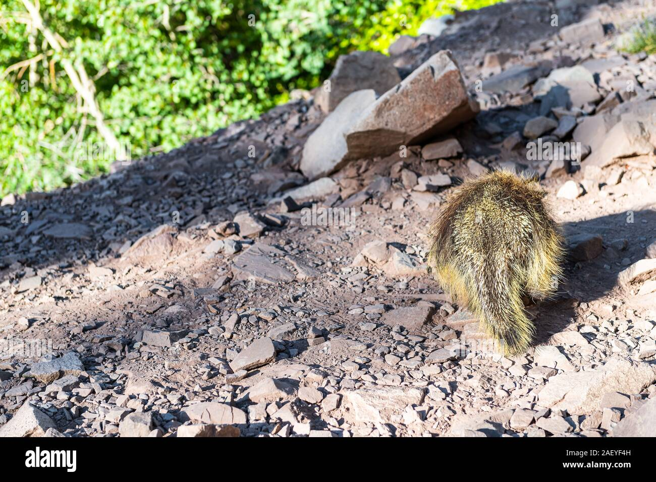 Maroon Bells crater lake trail path in Aspen, Colorado forest and closeup of one porcupine wildlife wild animal Stock Photo