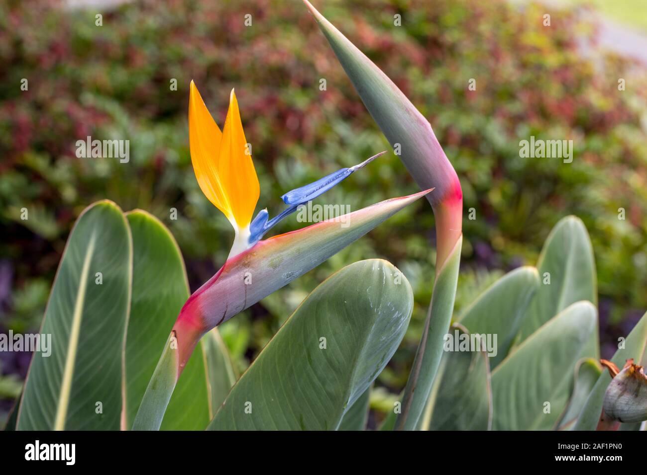 Tropical Flower Strelitzia Or Bird Of Paradise On Madeira Island Portugal Stock Photo Alamy