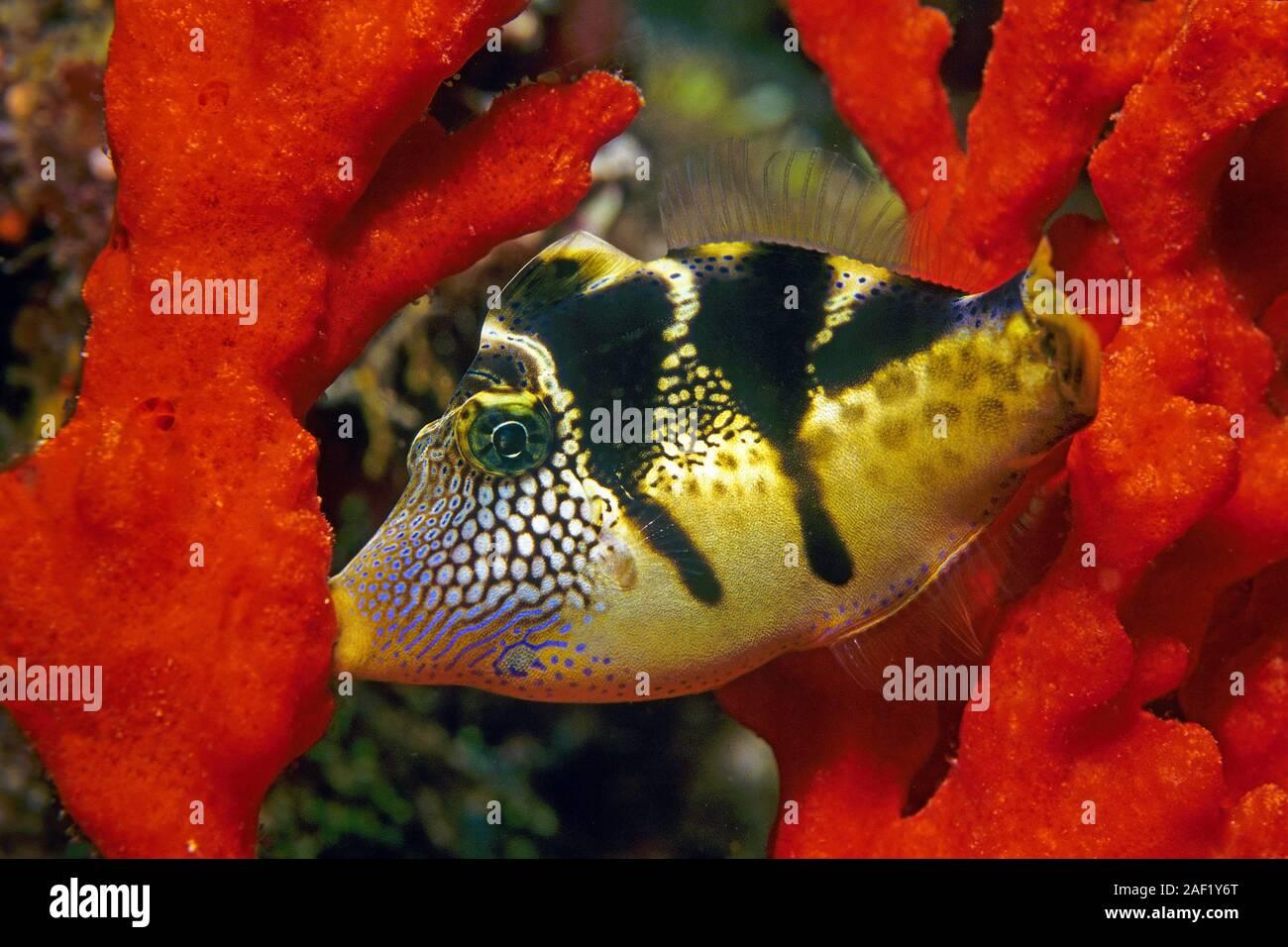 Black-saddled Leatherjacket, Blacksaddle Filefish (Canthigaster amboinensis), sleeping, holding on a sponge, Ari Atoll, Maldive islands Stock Photo