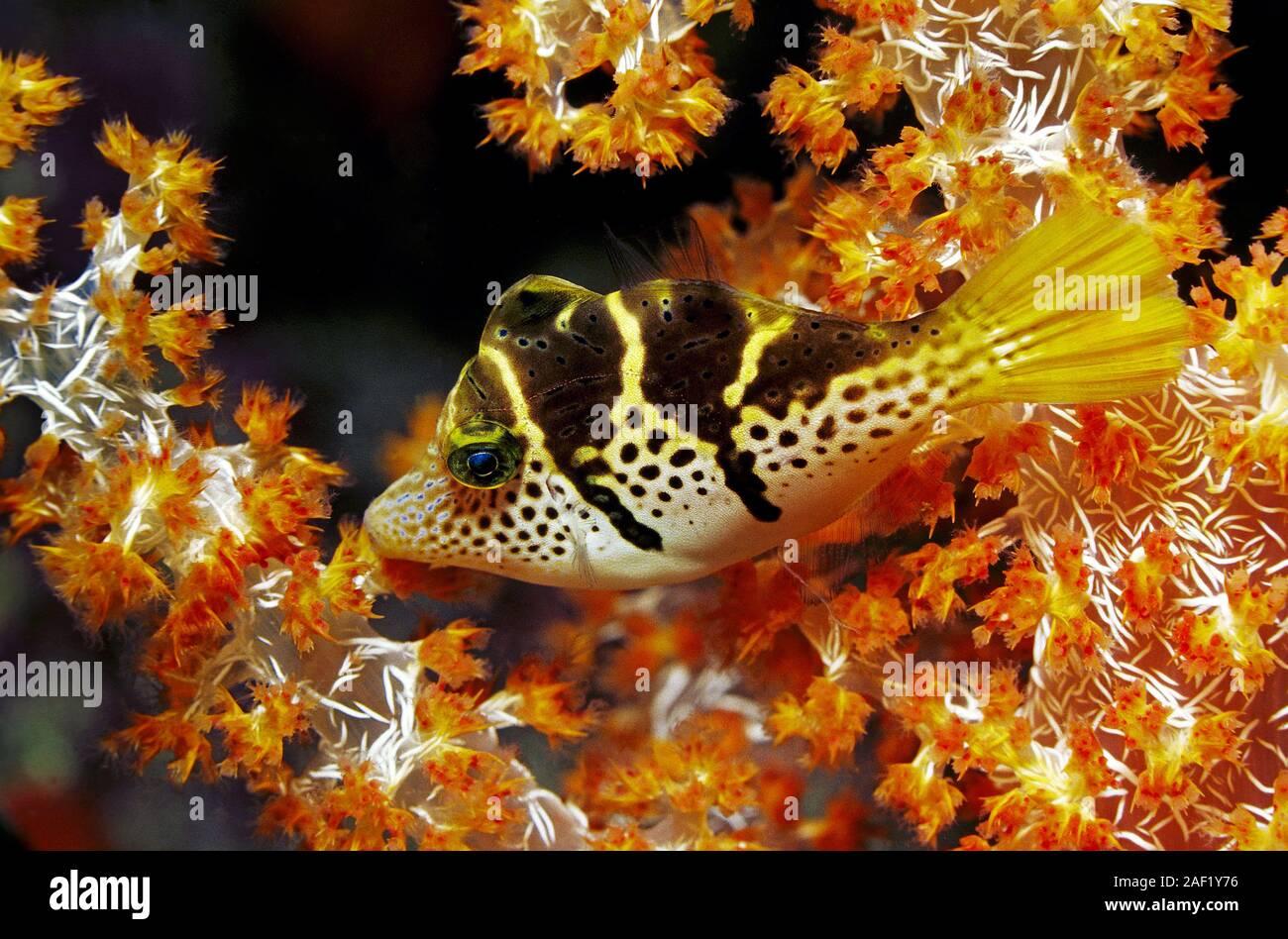 Black-saddled Leatherjacket, Blacksaddle Filefish, Black-saddled toby (Canthigaster amboinensis), sleeping at soft corals, Ari Atoll, Maldive islands Stock Photo