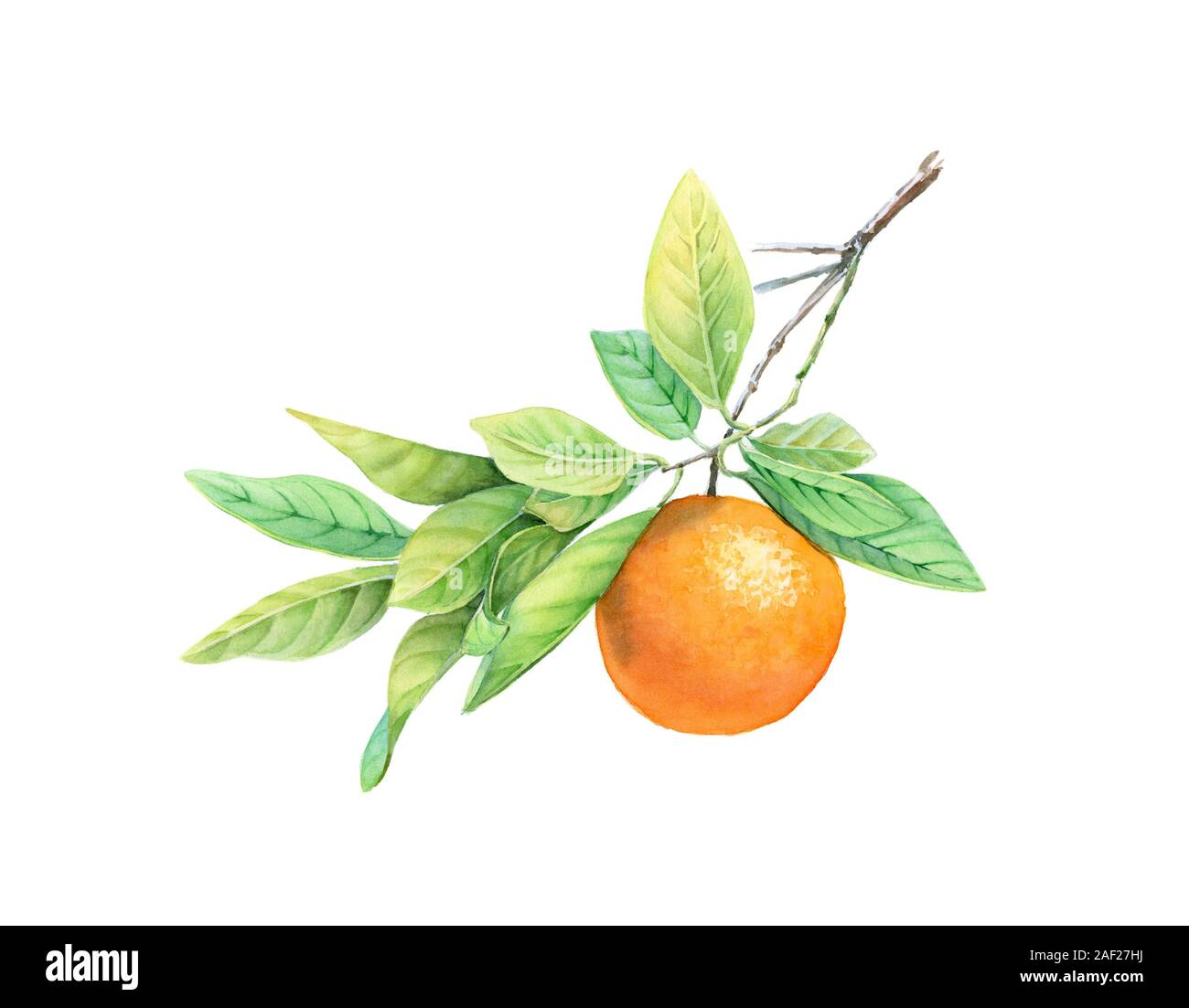 Watercolor Orange Fruit On The Branch Realistic Botanical Illustration With Exotic Food Hand Drawn Artwork Isolated On White For Label Design Cards Stock Photo Alamy