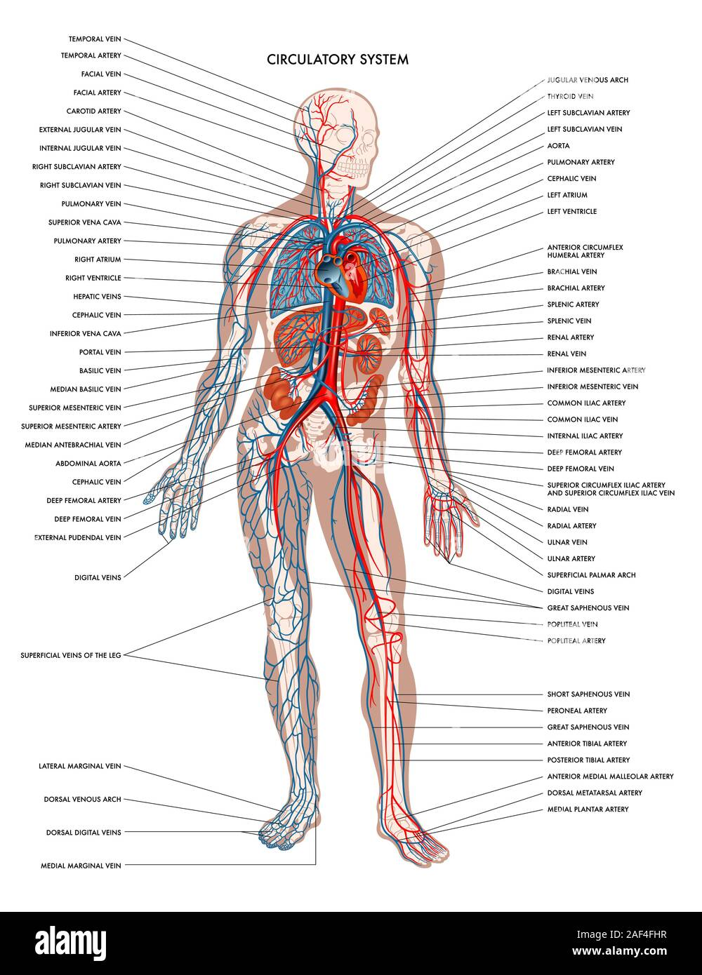 Human Body Organs Diagram High Resolution Stock Photography And Images Alamy