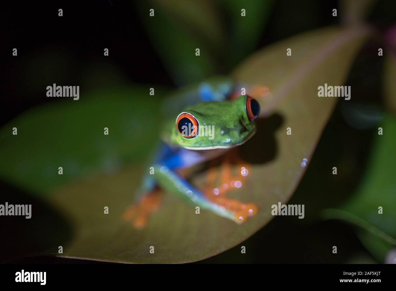 A red-eyed Treefrog on a leaf in Costa Rica. Stock Photo