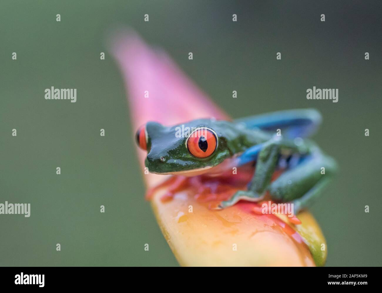 A Red-eyed tree frog in Costa Rica Stock Photo