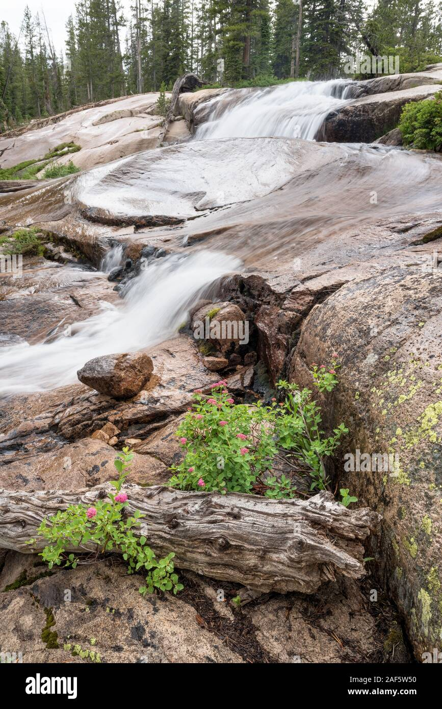 Spiraea growing next to a stream in Idaho's Sawtooth Mountains. Stock Photo