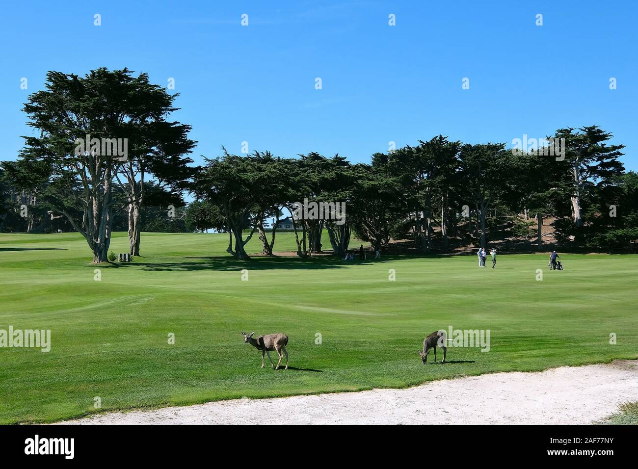 Deer on a golf course on 17-Mile Drive, paid coastal road on the Monterey Peninsula between Carmel-by-the-Sea and Monterey, California, USA Stock Photo