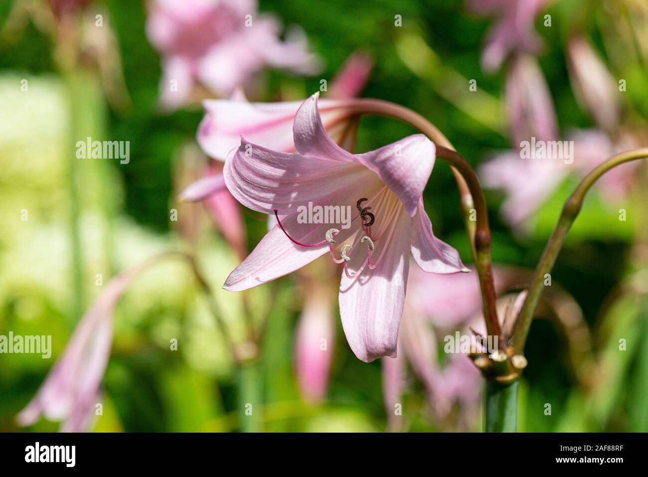 The trumpet-shaped light pink flowers of Powell's swamp lily (Crinum × powellii) Stock Photo