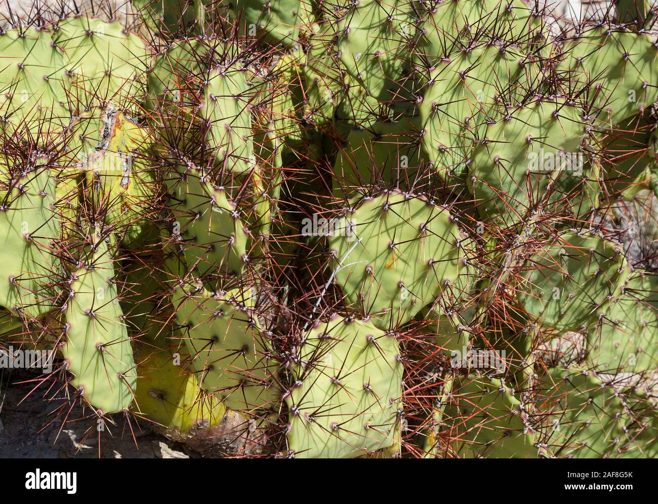 10+ seeds Delicious Fruits extreme hardy cactus Desert Prickly Pear
