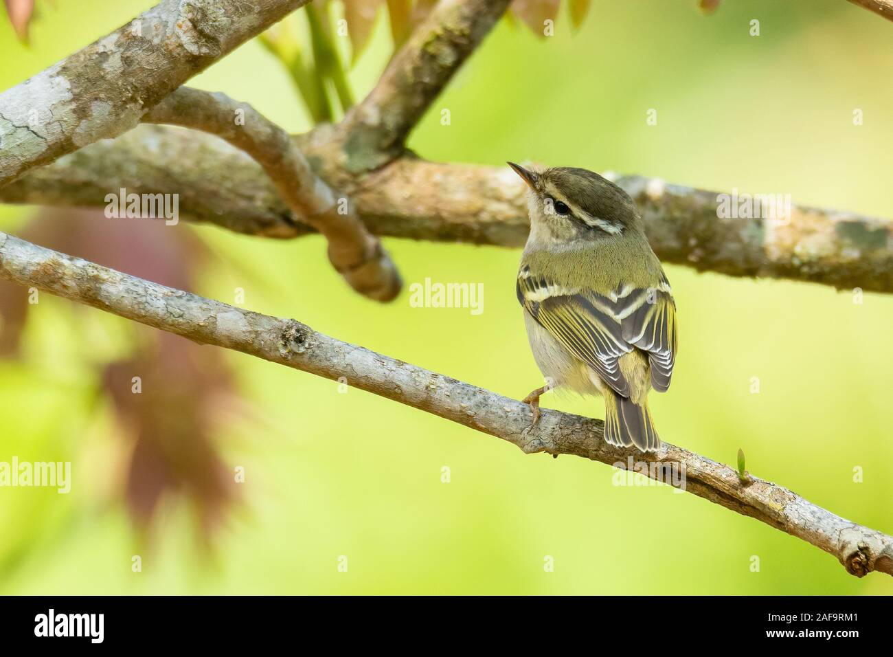 Sichuan Leaf Warbler perching on a tree branch looking into a distance Stock Photo