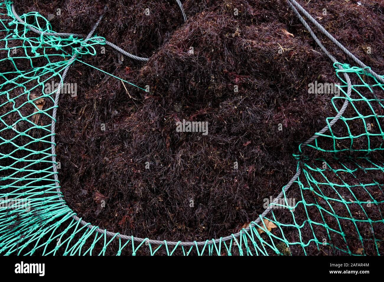Fishing nets full of red algae, Saint-Jean de Luz, Pyrénées-Atlantiques, France Stock Photo