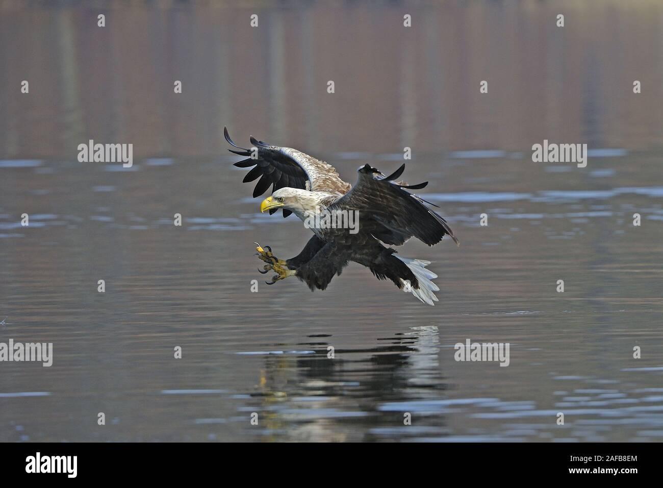 Seeadler, Maennchen, adult (Haliaeetus albicilla) jagend Stock Photo
