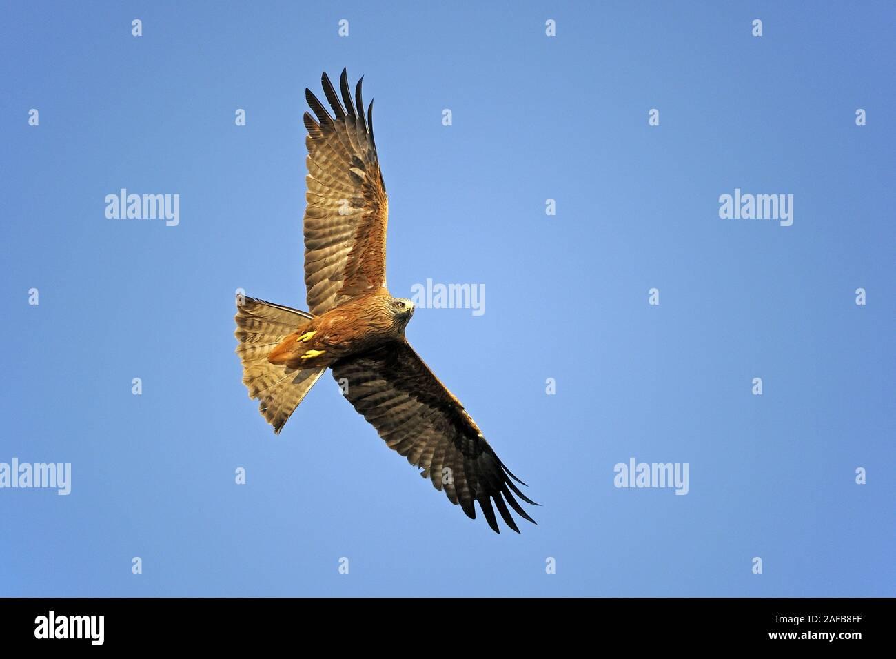 Schwarzmilan , Milvus migrans, fliegt im Abendlicht vor blauem Himmel Stock Photo