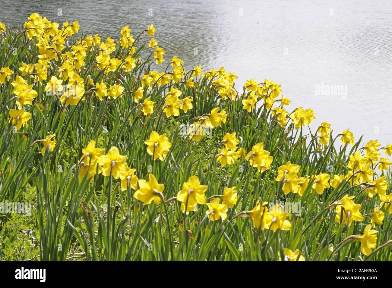 gelbe Osterglocken, Narzissen (Narcissus) im Gegenlicht Stock Photo