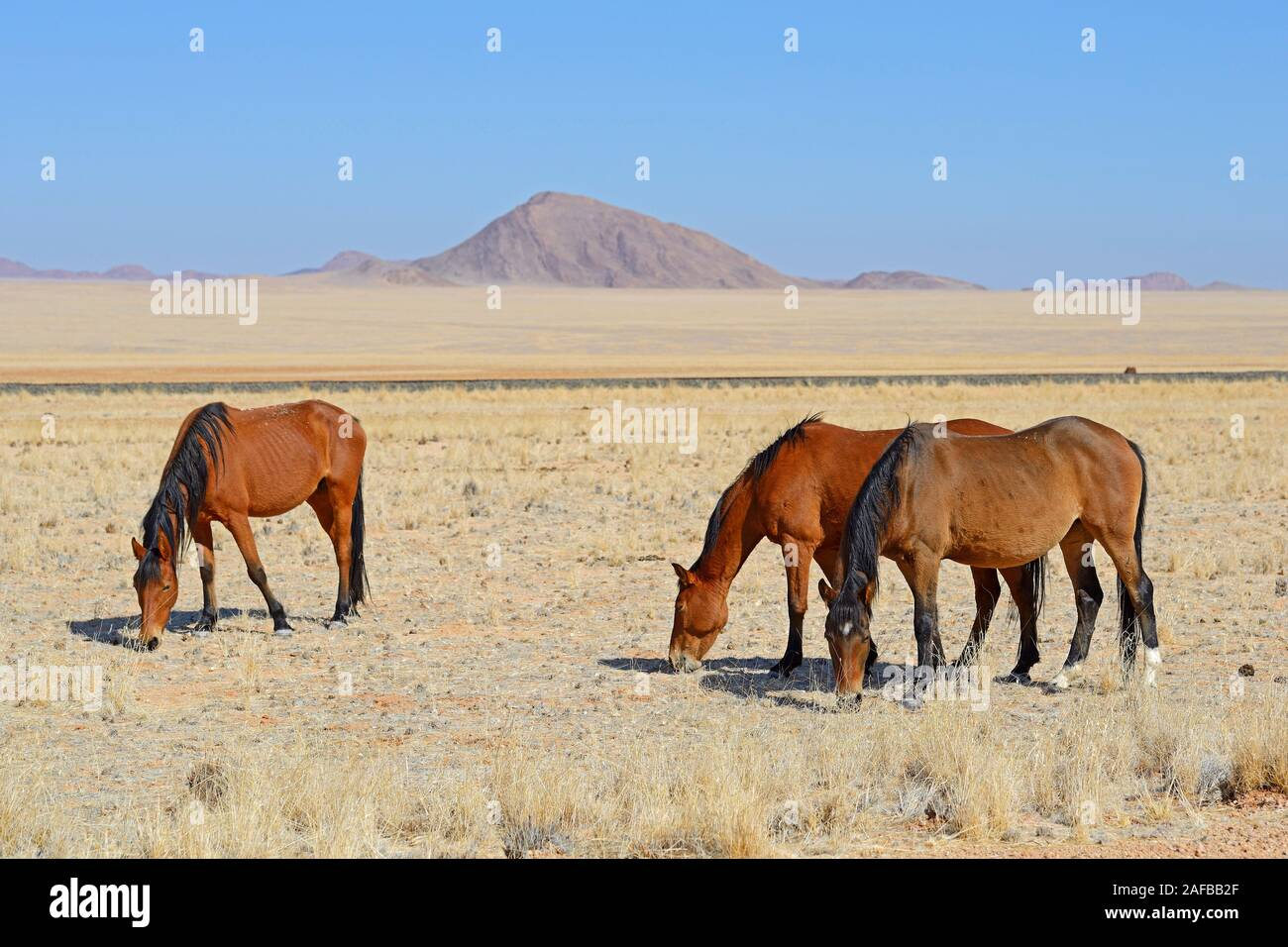 grasende Wildpferde in Garub bei Aus, Namibia, Afrika Stock Photo
