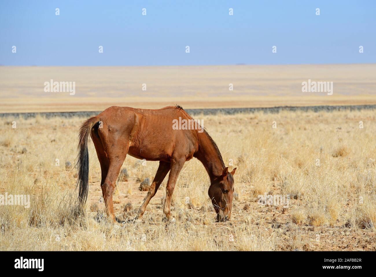 grasende Wildpferde in Garub bei Aus, Namibia, Afrika Stock Photo