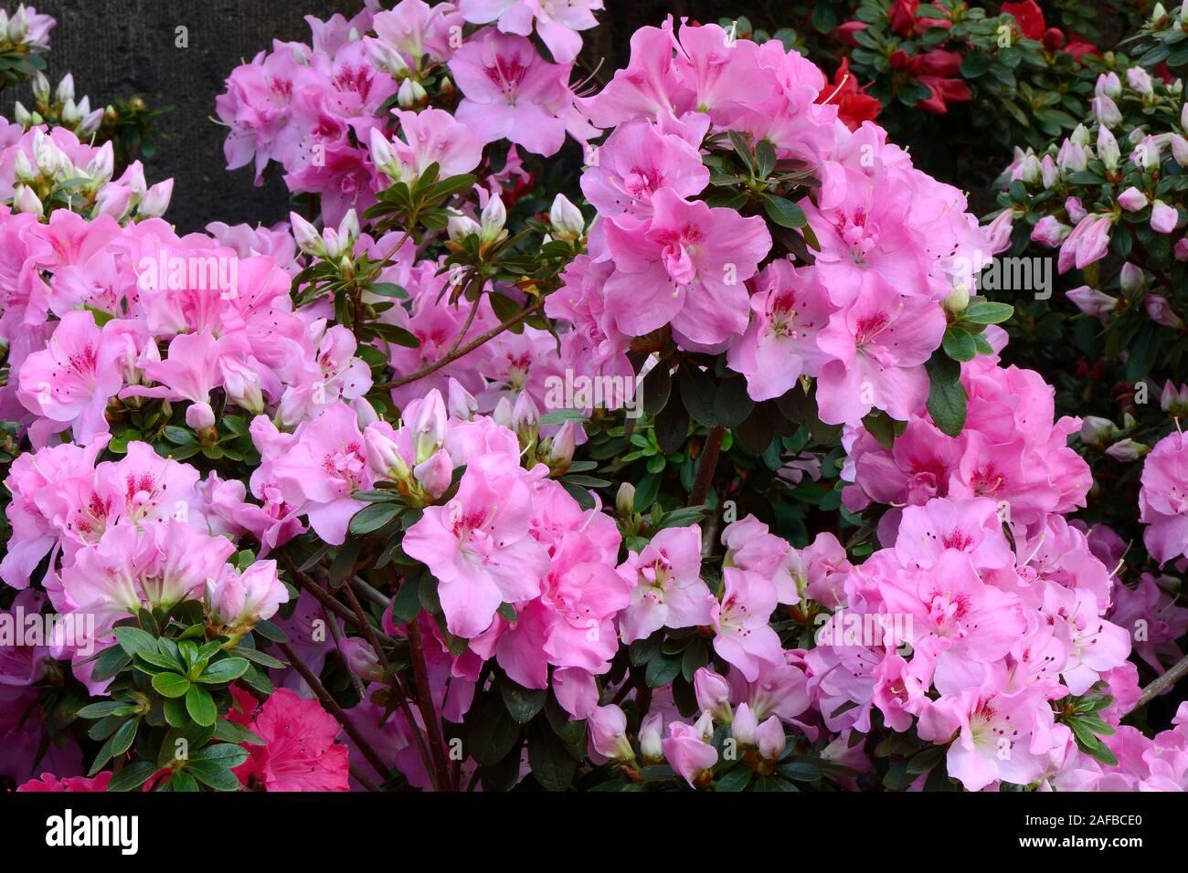 verschiedene Zuchtformen eines Rhododrendron (Rhododendron strigillosum ) Deutschland Stock Photo