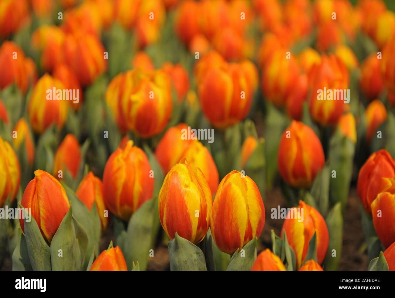 mehrfarbige Tulpen, Tulipa Stock Photo