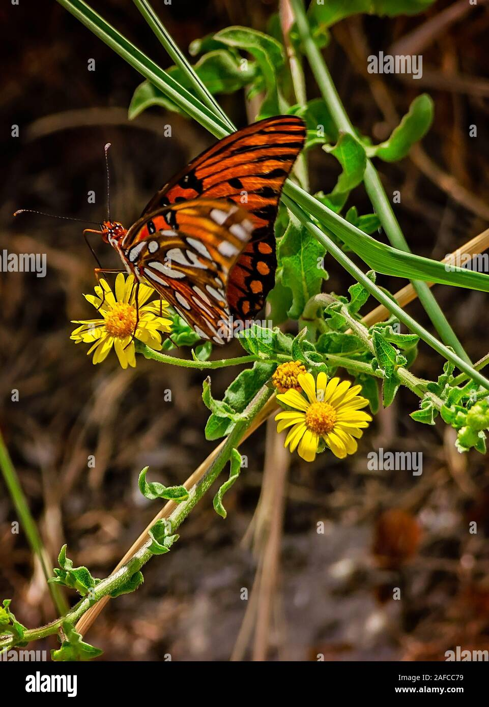 Gulf Fritillary Butterfly On A Flower High Resolution Stock Photography And Images Alamy