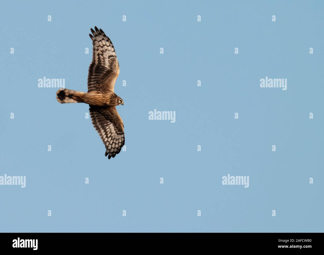 Ringtail/female Hen Harrier (Circus cyaneus) in flight over Oxfordshire Stock Photo