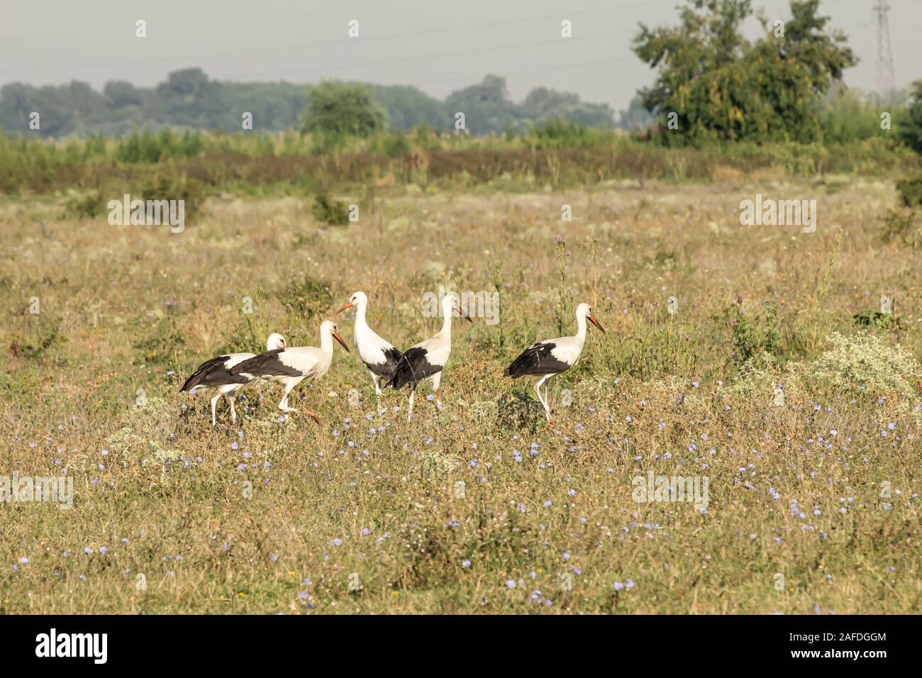 White stork, Ciconia ciconia, large bird, stork family Ciconiidae. Its plumage is mainly white, with black on its wings. Animalia, Chordata, Aves, Cic Stock Photo