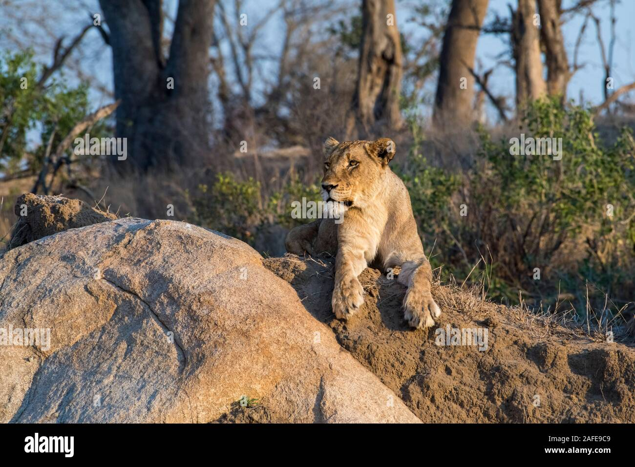 Lioness Raising her Face into the Rising Sun in Mala Mala, South Africa Stock Photo
