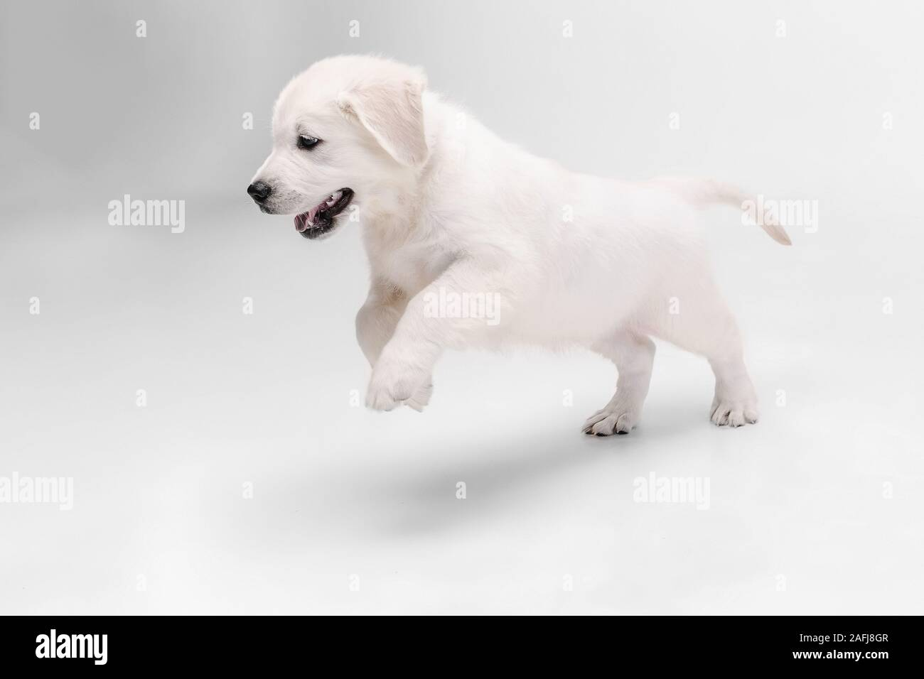 English Cream Golden Retriever High Resolution Stock Photography And Images Alamy