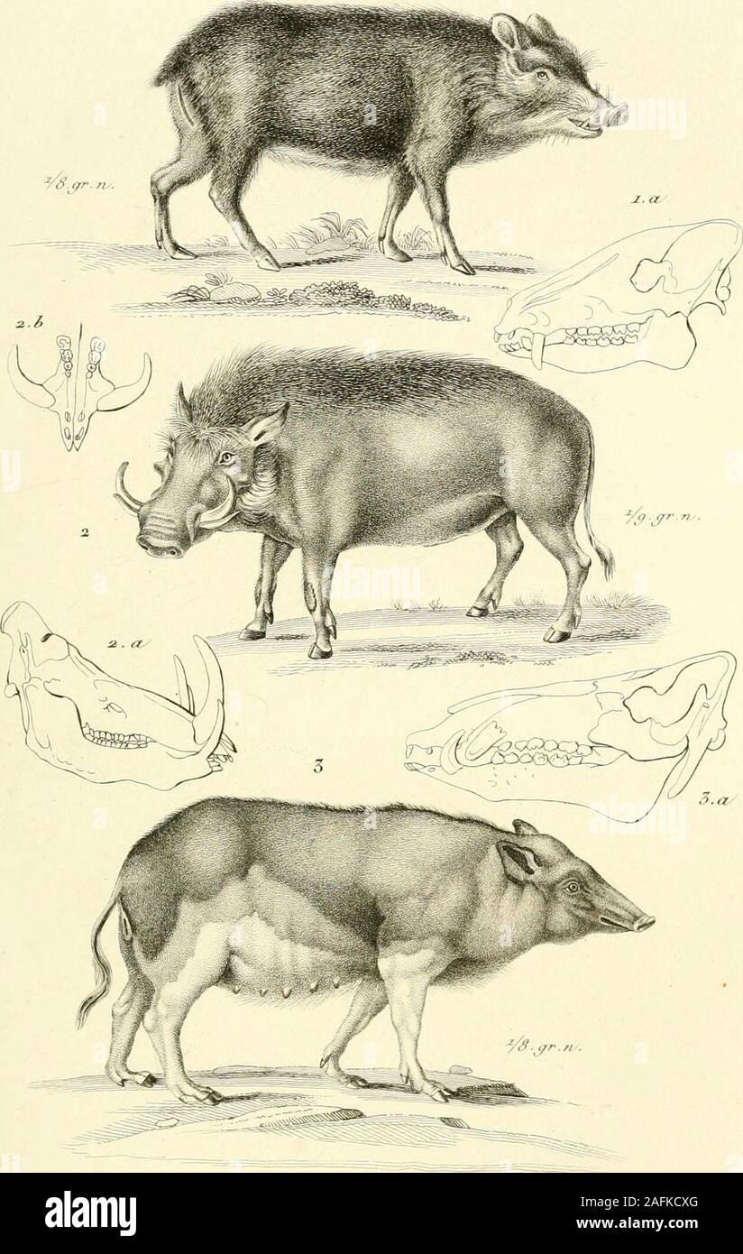 . Iconographie du règne animal de G. Cuvier, ou, Représentation d'après nature de l'une des espèces les plus et souvent non encore figurées de chaque genre d'animaux : avec un texte descriptif mis au courant de la science : ouvrage pouvant servir d'atlas a tous les traites de zoologie. i.E]e2)lias r/u/fi-rf.r. Crfu. Ji A.f.i.^ ^.q. ?i./?,-,,/ ,/,? lEloplias (r/rrt;r/irts. frtv.i.aSo.ï.Rhuiooeros i/>t//<//,r. si^^j- Zcono^rc6j J^èt/r/te Anf/rur/. J{tu»7ilr/èrej. -/Y. 3S.. ûuerïn e/^S. TrtzaiArv f i.Dicotyles /aii^fytd-.Cun.fi.A./^.i.^.^S-- a.Ptacockoeres ^.»/J.f i.n.aii.3 ? Sus scro/à /Fa Stock Photo