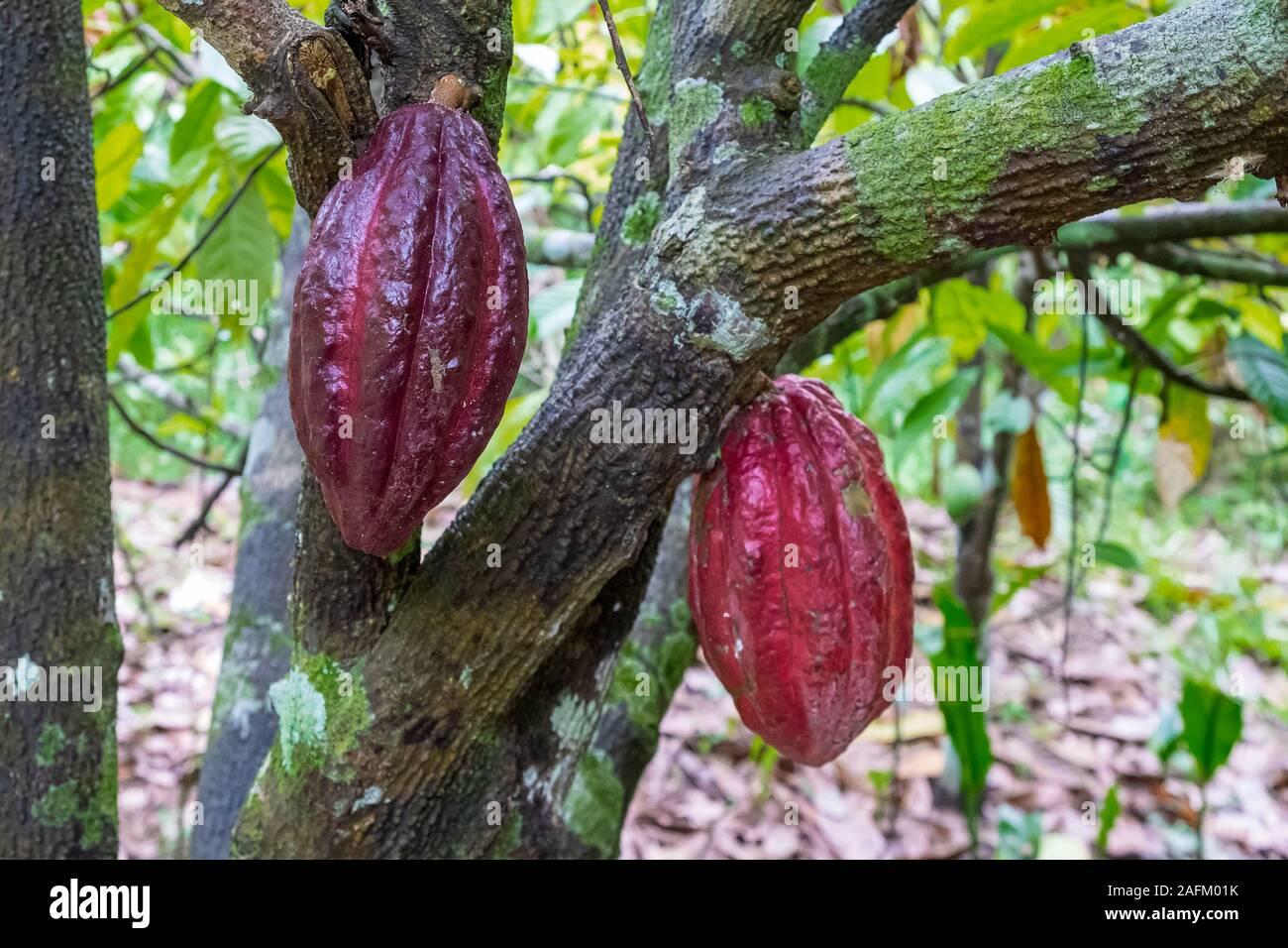 Cocoa bean ripe in tree in jungle before harvest in garden Stock Photo