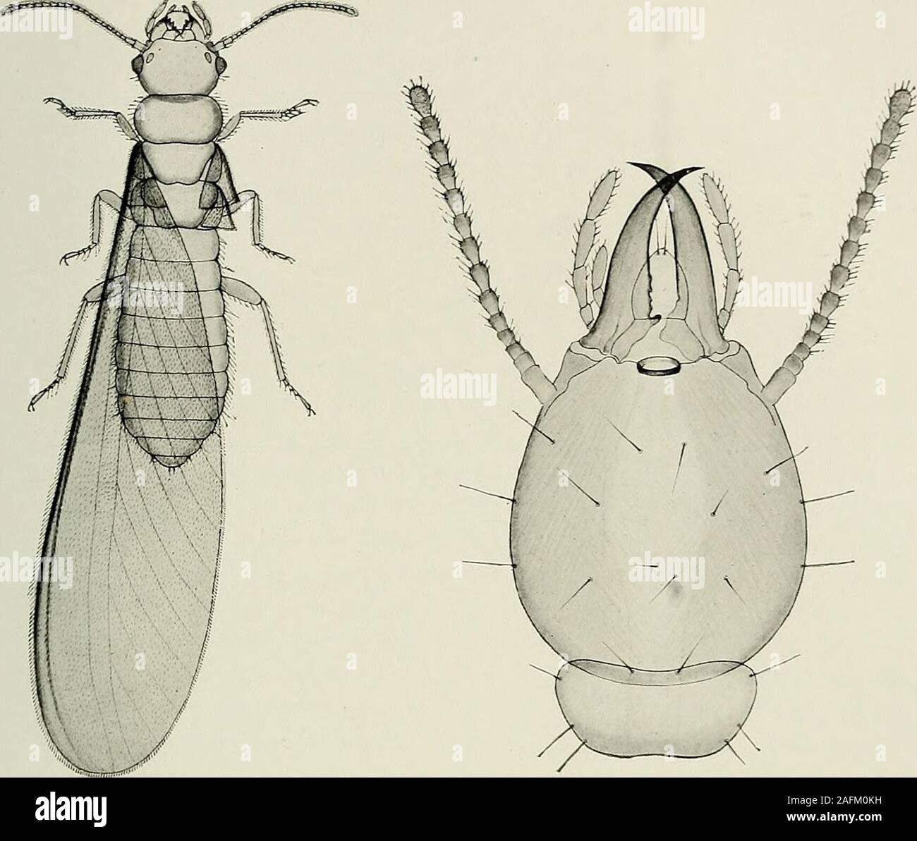 . Bulletin du Muséum national d'histoire naturelle. arbres situés à plusieursmètres de distance de lautre côté dun chemin. Voisins des précédents, les Arrhinotermes ont, eux aussi, un pore fron-tal et une poche glandulaire prolongée en arrière jusquau bout de labdo-men. Une espèce de ce genre (A. jlavus Bug.) a été découverte le 11 jan-vier 1910, au bord du lac dAmbalangoda, sous lécorce dun arbre mort.Dautres nids, renfermant des imagos, ont élé trouvés les années suivantesau bord du même lac, dans les tiges creuses du Panda-nus ceylonicus(grande Broméliacée aquatique) ou encore sous lécorce Stock Photo