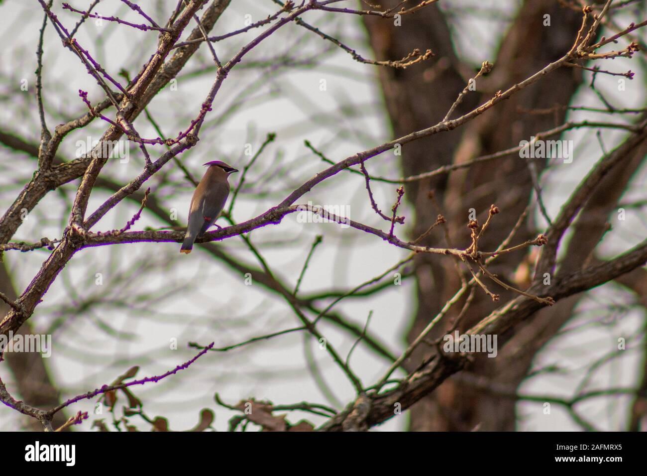 Cedar waxwing in tree in backyard in Joplin, Missouri Stock Photo