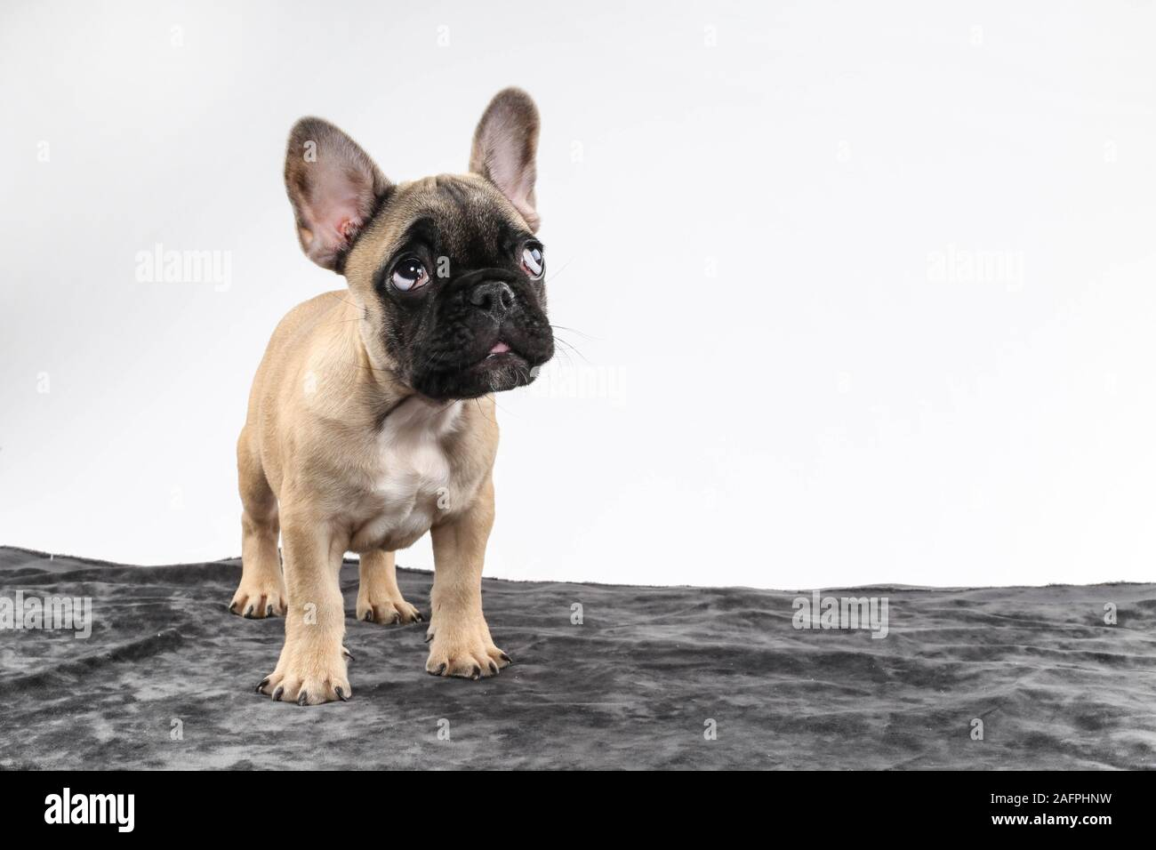 Frenchie Pup High Resolution Stock Photography And Images Alamy