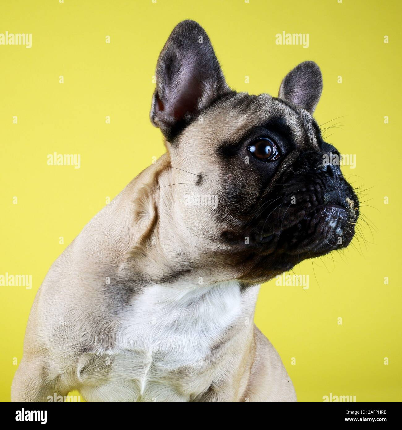 Funny Surprised French Bulldog Puppy On Yellow Studio Background Stock Photo Alamy