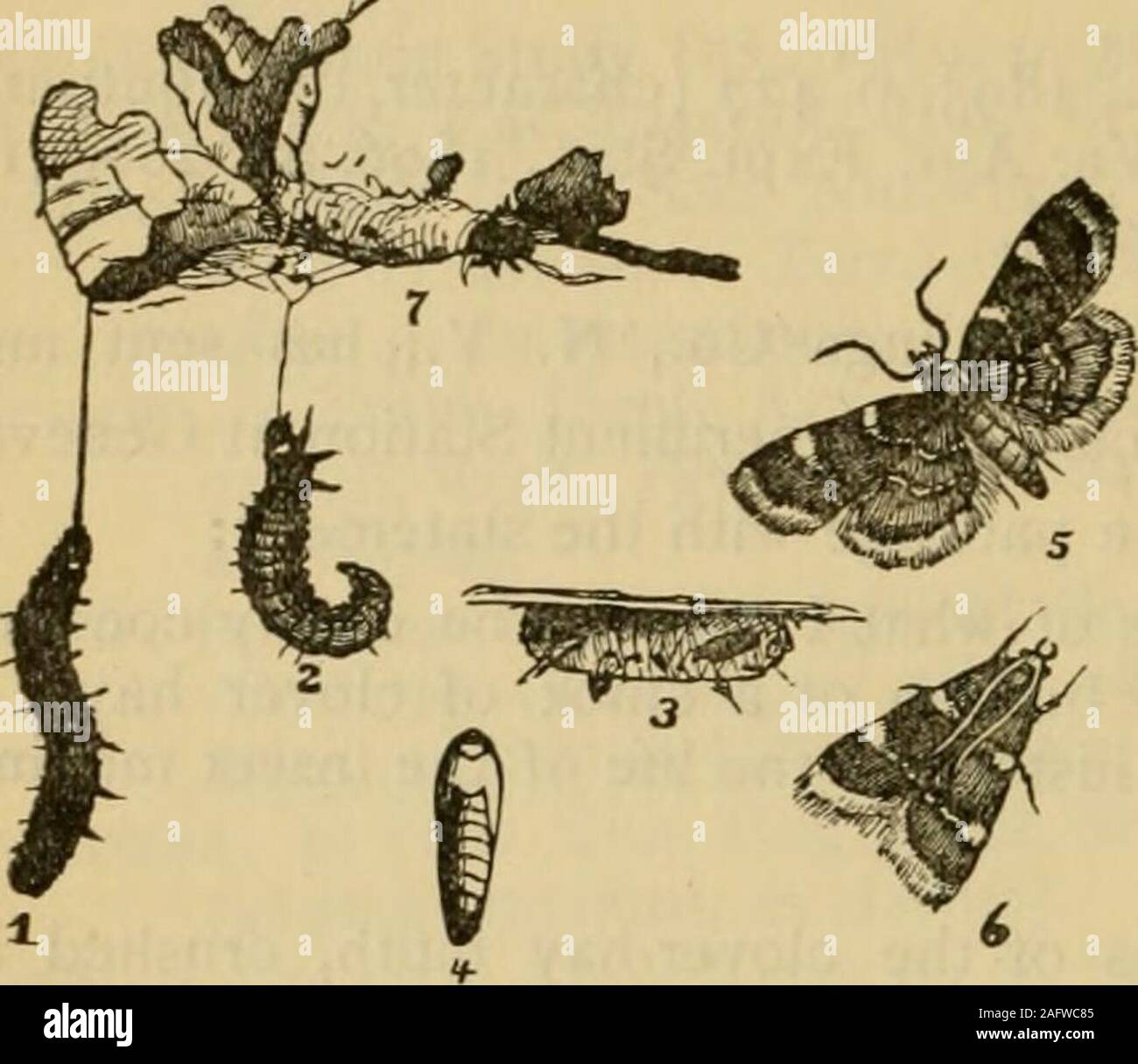 . Report on the injurious and other insects of the State of New York. same whichwere thrown off at their change to the pupal stage. At this time someof the cocoons, if not crushed, should have contained living pupae. An European Insect. The insect was described by Fabricius over a hundred years agofrom European examples as Phalcena costalis. It has been referred to thegenus Pyralis by our more recent writers. For a long time it was knownas Asopia costalis in this country, while in Europe, Pyralis costalis appearsto have been preferred by most writers; Humphreys, however, in his Genera of Briti Stock Photo