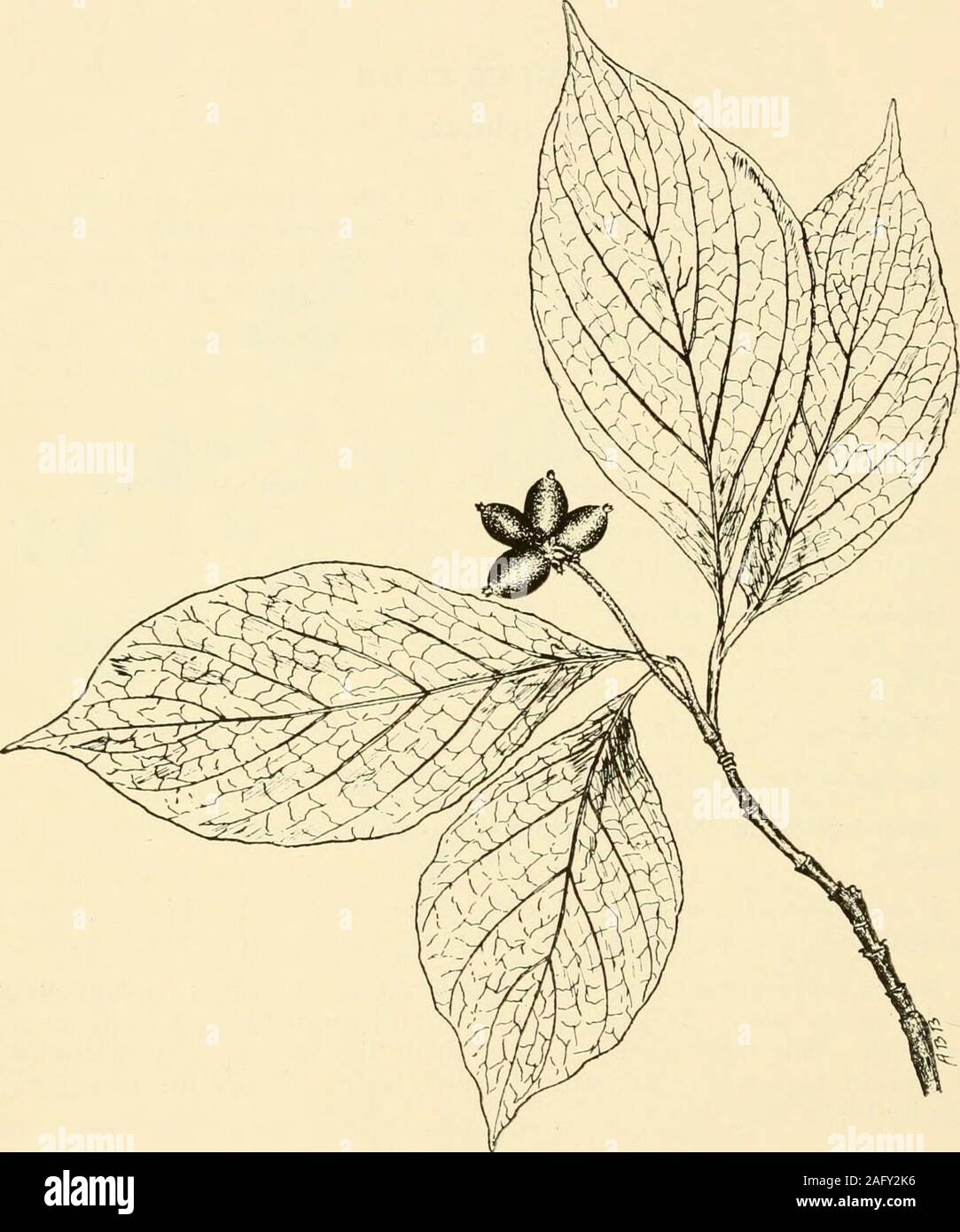 . West Virginia trees. th. Flowers.— June-August; polygamous; cream white, arranged inlarge, spreading panicles made up of numerous small umbels. Fruit.—Matures in autumn; an ovoid black berry al)Out j4 inchlong each terminated with a black persistent style. Bark.—Smooth, except on old trunks which are roughened byshallow furrows; broAvn outside, yellow inside, coxered with stoutprickles. Wood.—Soft, brittle, weak, brown with yellow streaks. Range.—New Yoik to Missouri and southward. Distribution in West Virginia.—Common locally west of the Al-leghanies. Habitat.—Often associated with grape vi Stock Photo