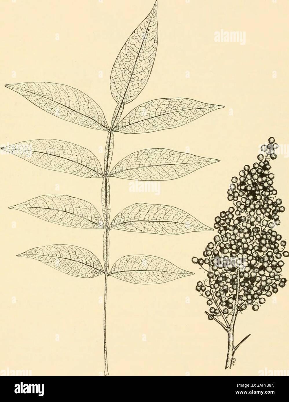 sumac Rhus coriaria seeds 100 graines