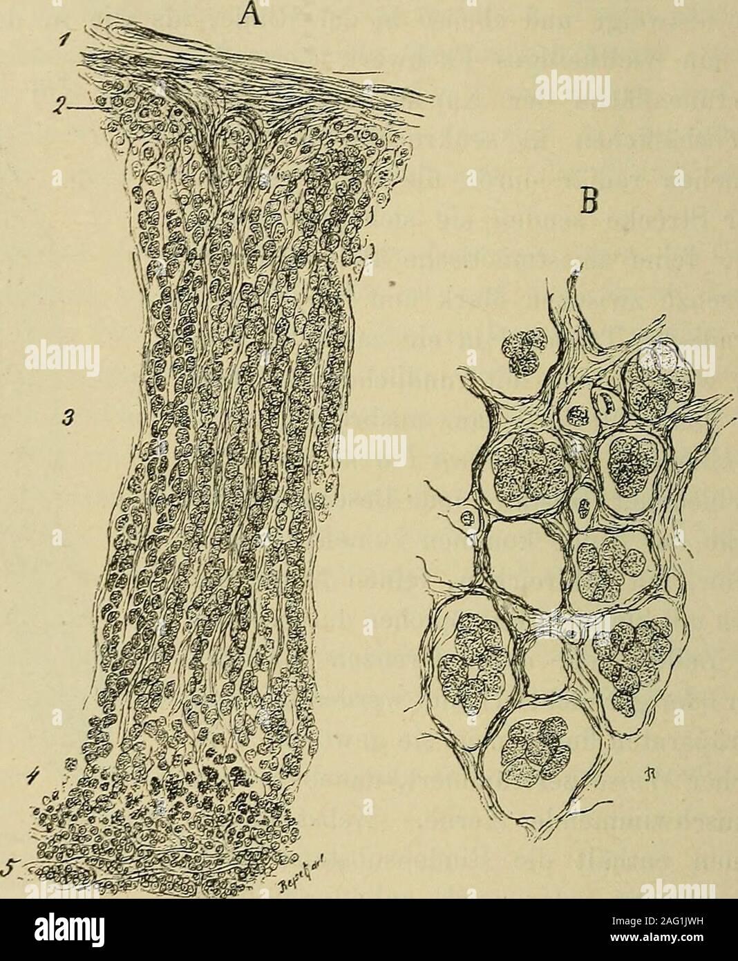 . Lehrbuch der Gewebelehre; mit vorzugsweiser Berücksichtigung des menschlichen Körpers. Horizontaler Durchschuittdurch die menschliche Ne-benniere. 3mal vergrössert.r. Rindensubstanz, m. Mark-siibstanz. 510 Die Nebennieren. Bemerkenswerth ist, dass die Parenchyrnzellen der Nebennieren,trotzdem sie, ihrem äusseren Ansehen nach, grosse Aehnlichkeit mitDrüsenzellen besitzen, wahrscheinlich bindegewebiger Natur sind.V. Brunn, nach dessen Untersuchungen sie aus dem mittleren Keim-blatte herzuleiten sind, hält sie für modificirte Adventitialzellen der Fi^. 149.. A. Durchsclinitt der Nebenniere senk Stock Photo