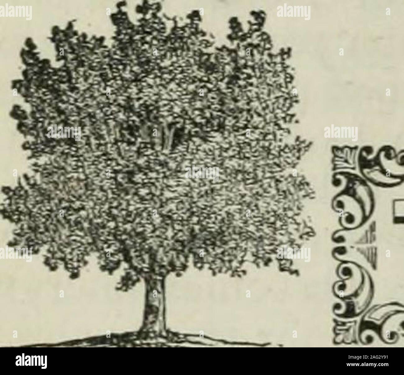. www.flickr.com/photos/internetarchivebookimages/tags/book.... ple, Mock Plane-tree, Plane-tree, European S)camore, (LiNN^cs, Species Plantarum.? I MicHAux, North American Sylva.?{ Don, Millers Dictionary. I LocDON, Arboretum Britannicum.Selby, British Forest Trees. France. Germany. Italy. England.Scotland.United States. IMrications. The botanic name, pseiido-platanus, is derived from the Latin, and signifies false plane-tree. The other namare generally significant in themselves. Engravings. Michaux. North American Sylva, pi. 44; Loudon, Arboretum Britannicum, v., pi. 32; Selby, British Fores Stock Photo