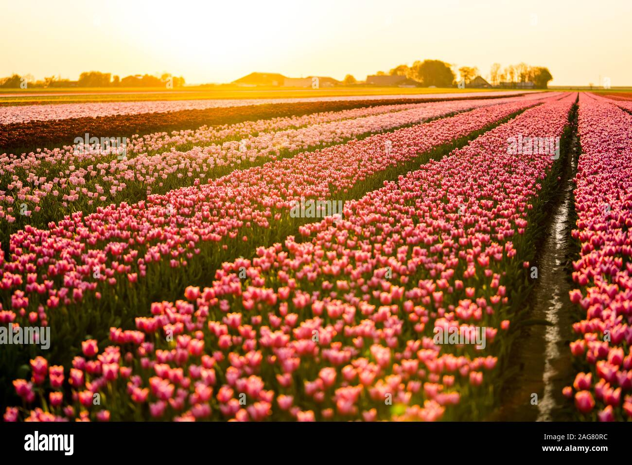 A Beautiful Scenery Of A Tulips Field Under The Sunset Sky Great For A Cool Natural Background Stock Photo Alamy