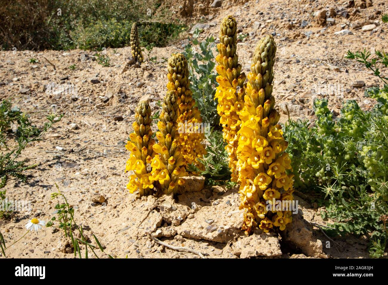 Yellow or desert broomrape, Cistanche tubulosa.  This plant is a parasitic member of the broomrape family. Photographed in the Negev Desert, Israel Stock Photo