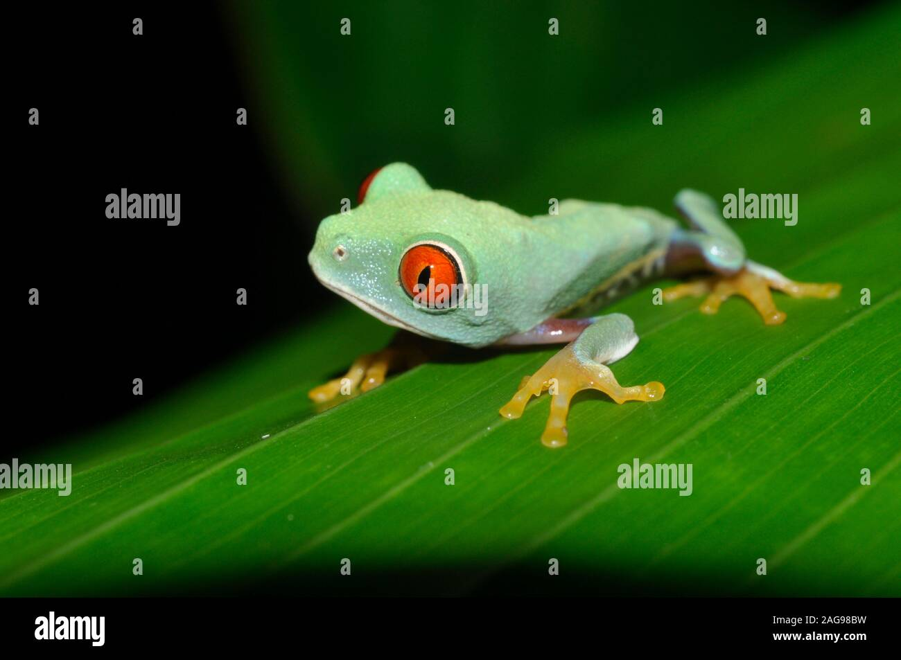 Red eye tree frog, Agalichnis callidryas, juvenile, Atlantic slope variety,  Costa Rica, Stock Photo