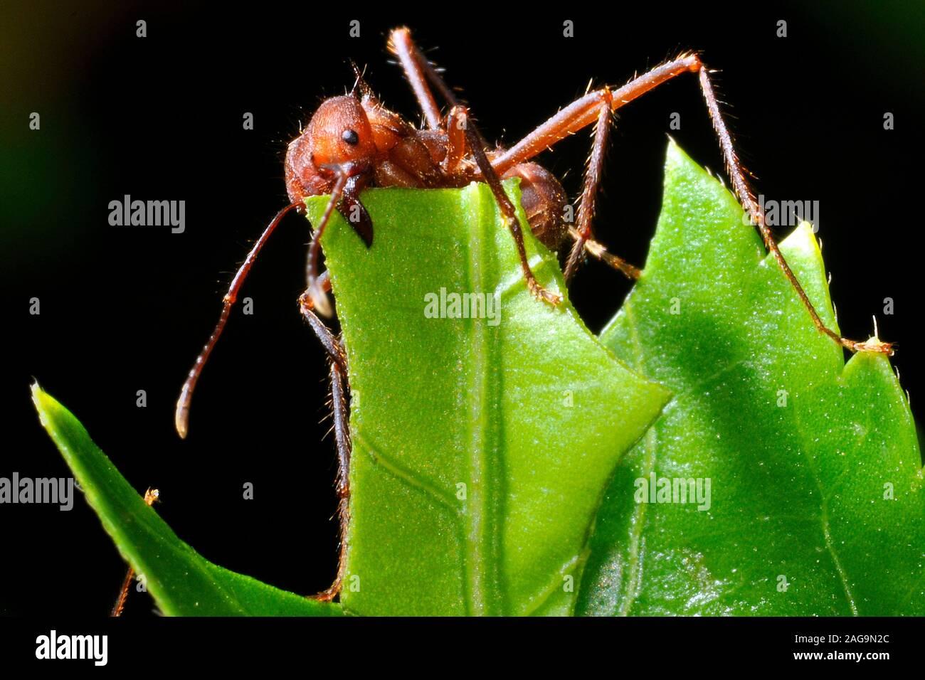 Leaf-Cutter Ant (Atta cephalotes), Costa Rica Stock Photo