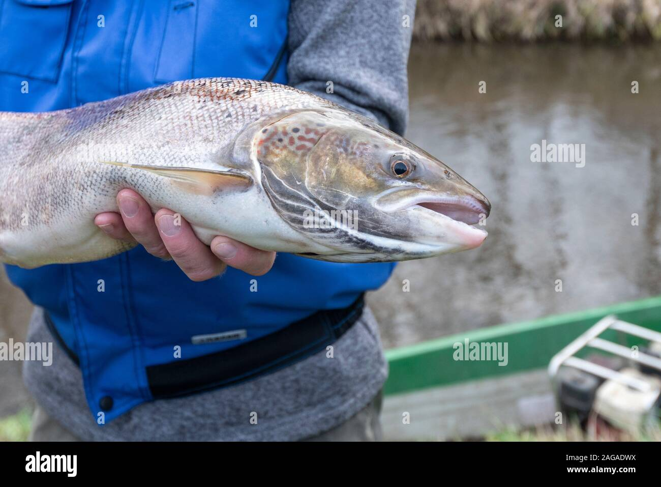 Zerbst, Saxony-Anhalt, Germany. 18th Dec 2019. view of a salmon weighing four kilos. It was caught during a trial fishing by scientists of the Institute for Inland Fisheries with an electric landing net, measured, marked and put back into the river. The action proved that some salmon had returned to the Nuthe near Zerbst to spawn in the International Year of Salmon 2019. They were there years ago when young salmon were released and migrated to the Atlantic and are now returning. Credit: Mattis Kaminer/Alamy Live News Stock Photo