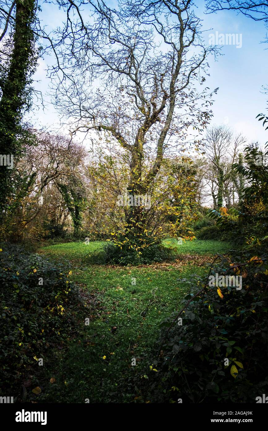 Colan Woods. A Sweet Chestnut tree Castanea sativa growing in the overgrown grounds of the historic Fir Hill Manor in Colan Parish in Newquay in Cornw Stock Photo