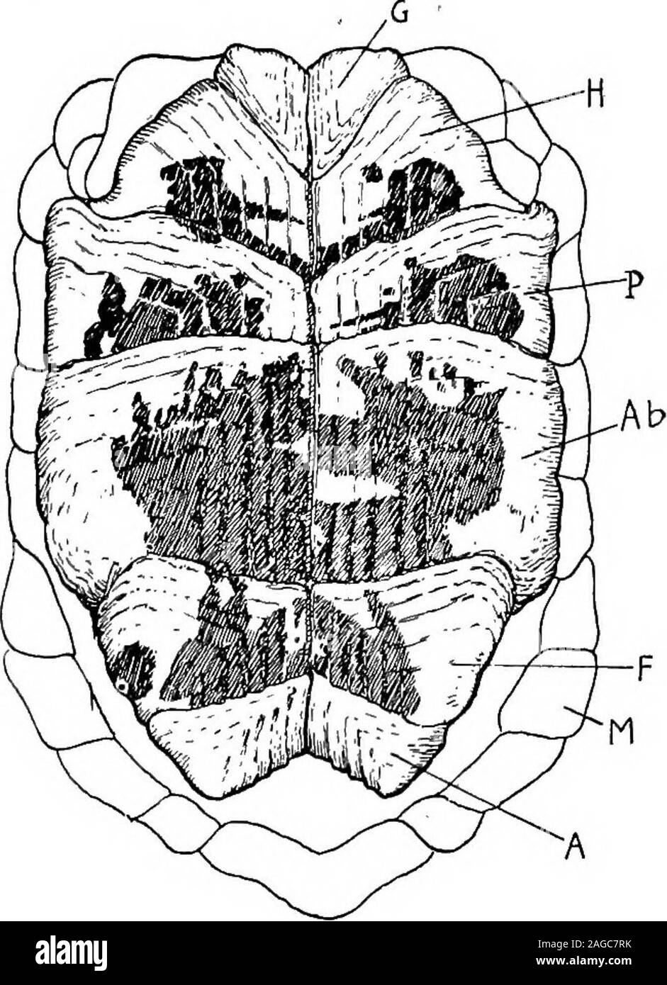 . Outlines of zoology. lastron; XIPHL^ xiphiplastron. The heart is three-chambered, but an incomplete septum divides theventricle into a right portion, from which the pulmonary arteries andthe left aortic arch arise, and a left portion, from which the right aorticarch issues. From the right aortic arch, which contains more pureblood than the left, the carotid and subclavian arteries are given off.The left aortic arch gites off the cceliac artery before it unites with theright. The lungs are attached to the, dorsal wall of the thorax, and haveonly a ventral investment of peritoneum; each is div Stock Photo