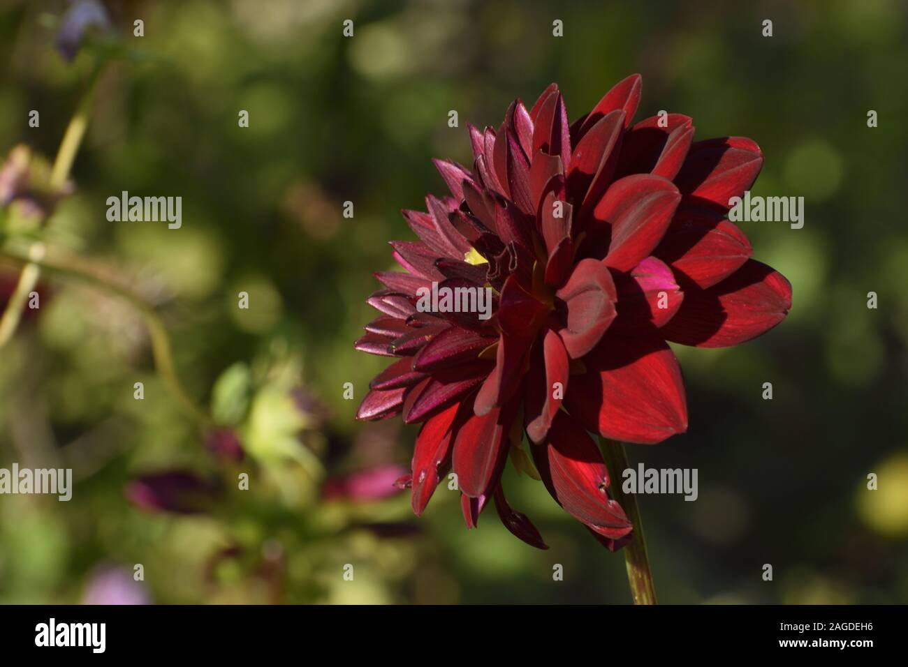 A Selective Focus Shot Of A Dahlia Perennial Plant Growing In The